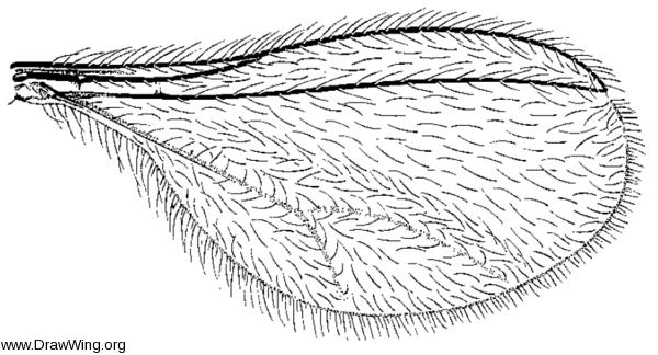 Arthrocnodax rhoinus, wing