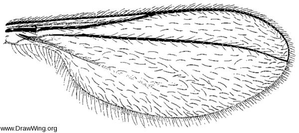 Thecodiplosis piniresinosae, wing