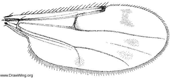 Brachypogon paraensis, wing