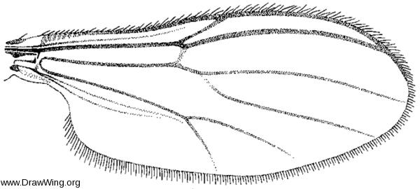 Parabezzia petiolata, wing