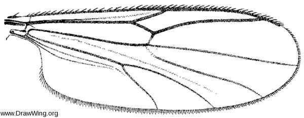 Neurobezzia granulosa, wing