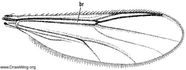 Stenoxenus coomani, wing