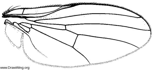Lipoleucopis praecox, wing
