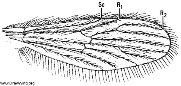 Corethrella, wing