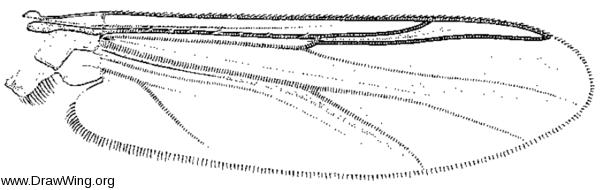 Cardiocladius obscurus, wing