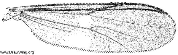 Chasmatonotus unimaculatus, wing