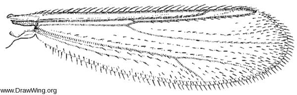 Stempellina, wing