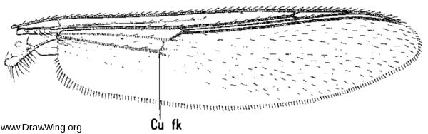 Arctopelopia, wing