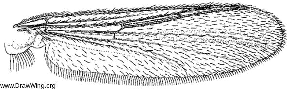 Monopelopia boliekae, wing