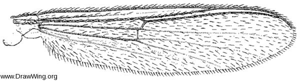 Parochlus kiefferi, wing
