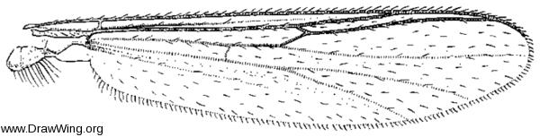 Trichotanypus posticalis, wing