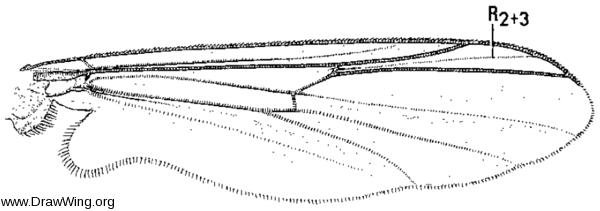 Pseudodiamesa arctica, wing