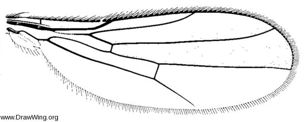 Stenoscinis longipes, wing