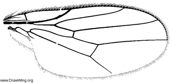 Aphanotrigonum scabrum, wing