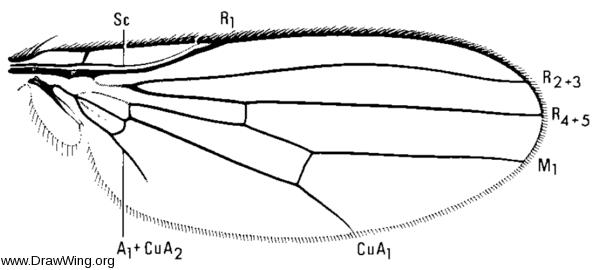 Chyromya flava, wing