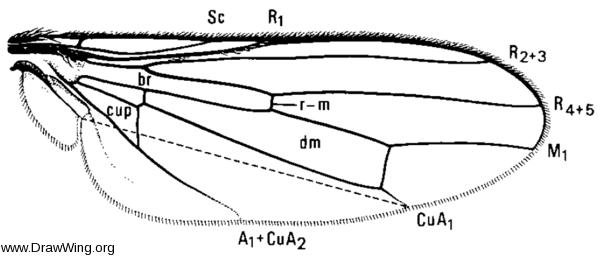Coelopa vanduzeei, wing