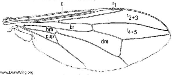 Dalmannia nigriceps, wing