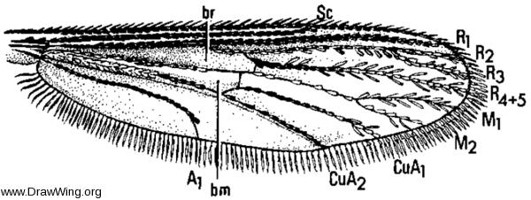 Uranotaenia sapphirina, wing