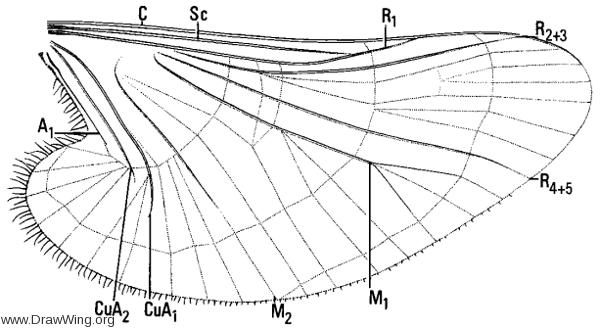 Deuterophlebia nielsoni, wing