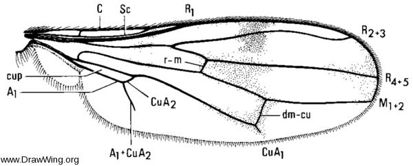 Sphyracephala brevicornis, wing