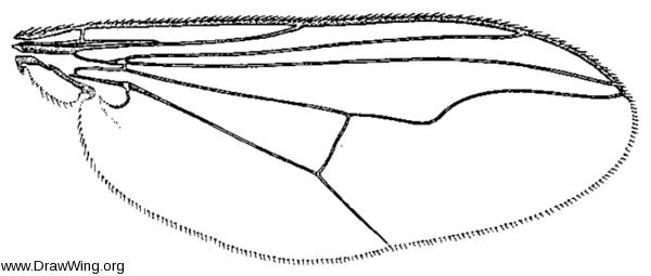 Mesorhaga pallidicornis, wing