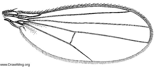 Achalcus utahensis, wing