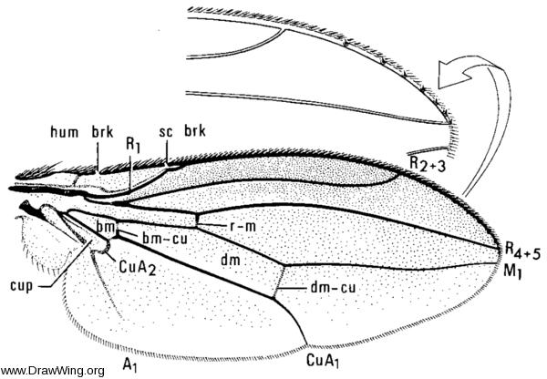 Stegana coleoptrata, wing