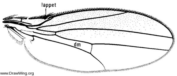 Mycodrosophila claytonae, wing