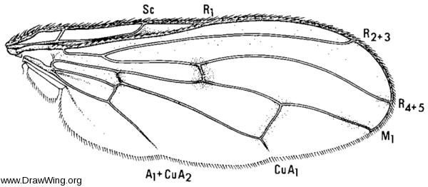 Dryomyza anilis, wing