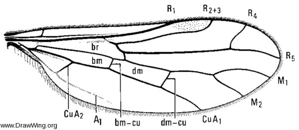 Chelifera obsoleta, wing