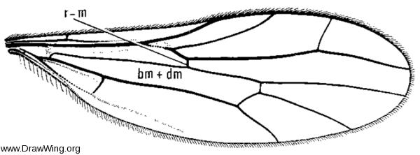 Neoplasta scapularis, wing