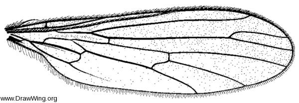 Trichoclinocera hamifera, wing
