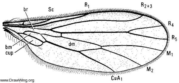 Roederiodes recurvatus, wing