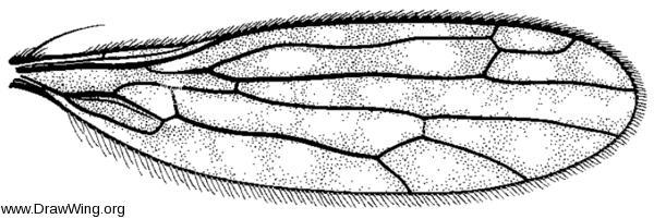 Dolichocephala argus, wing