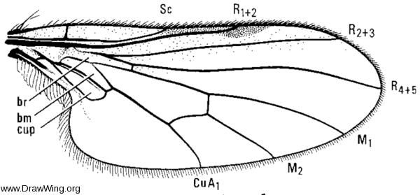 Microphorus sycophantor, wing