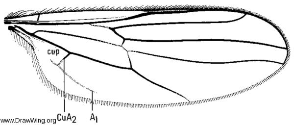 Platypalpus trivialis, wing