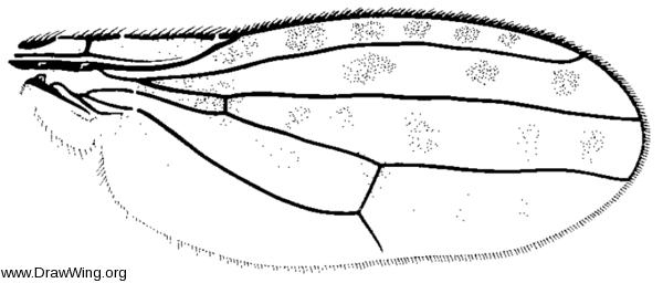 Callinapaea aldrichi, wing
