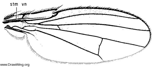 Paracoenia bisetosa, wing