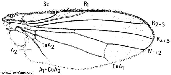 Heteromyza oculata, wing