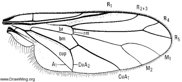 Hilarimorpha ditissa, wing