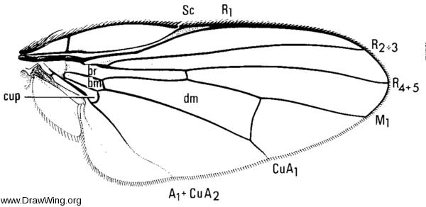 Lonchaea polita, wing