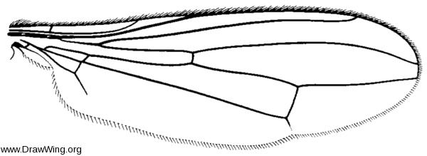 Cnodacophora nasoni, wing