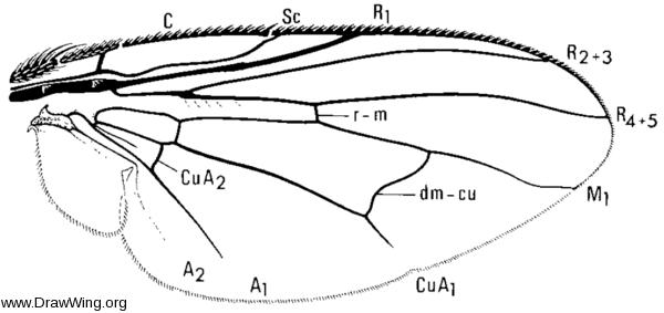 Philornis, wing