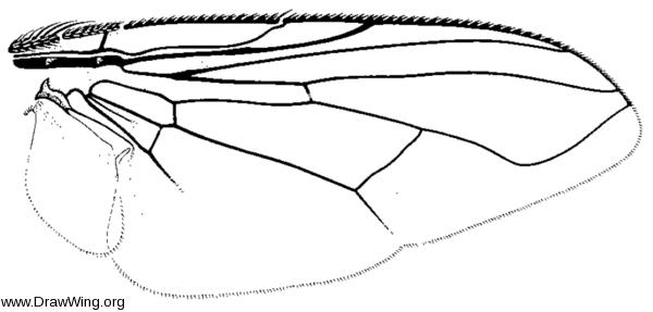 Synthesiomyia nudiseta, wing