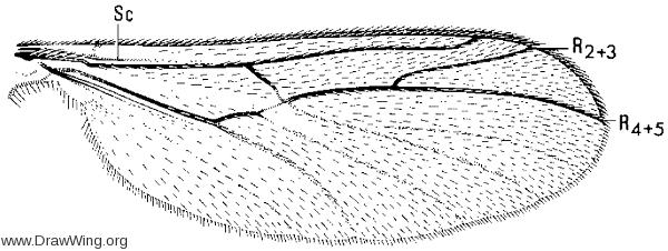 Ditomyia potomaca, wing