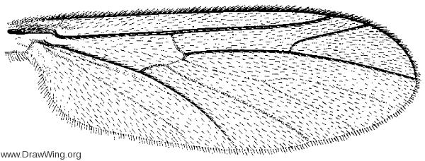 Symmerus vockerothi, wing