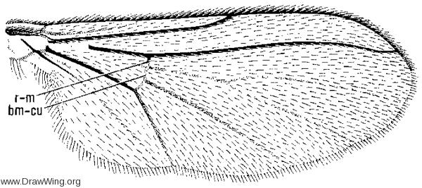 Diadocidia ferruginosa, wing