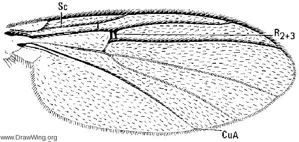 Monoclona rufilatera, wing
