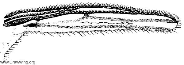 Baeopterogyna nudipes, wing