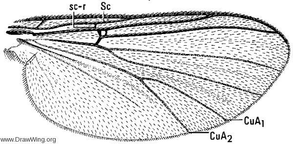 Sciophila novata, wing